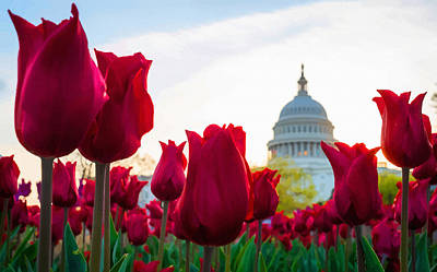 Tulips Bloom In Front Of The Capitol In Washington Original by Don Kuing