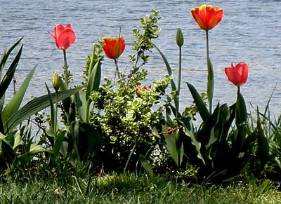 Tulips On The Bay Print by Kate Gallagher