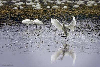 Swan Photograph - Tundra Swan Has Landed by LeeAnn McLaneGoetz McLaneGoetzStudioLLCcom