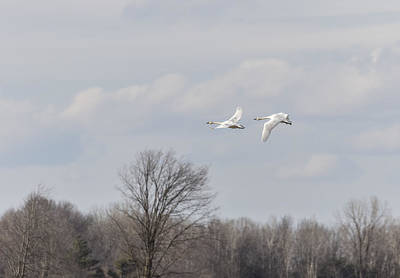 Tundra Swans 1-2015 Print by Thomas Young