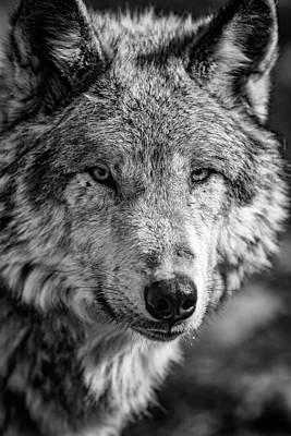 Tundra Wolf Print by Rick Berk