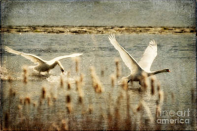 Swan Digital Art - Turf Wars by Lois Bryan