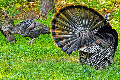 Turkey Tails Print by Geraldine Scull