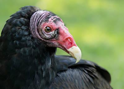 Buzzard Photograph - Turkey Vulture by Jim Hughes