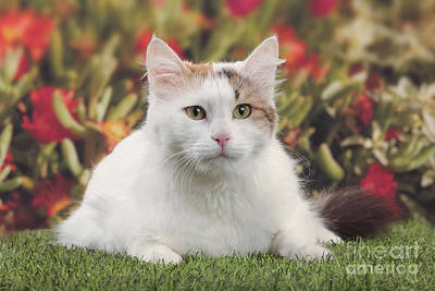 Turkish Van Cat Photograph - Turkish Van Cat by Jean-Michel Labat