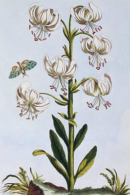Lilies Drawing - Turkscap Lily by Pierre-Joseph Buchoz