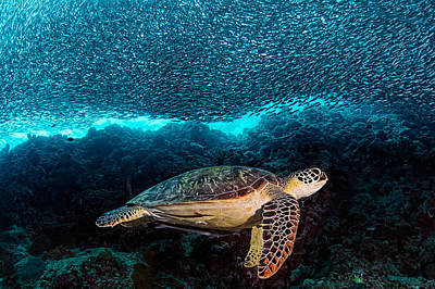 Turtle Photograph - Turtle And Sardines by Henry Jager