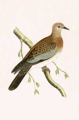Dove Painting - Turtle Dove by English School