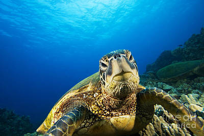 Turtle Stare Print by Dave Fleetham - Printscapes