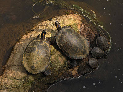 Family Gathering Photograph - Turtles  by MW Robbins