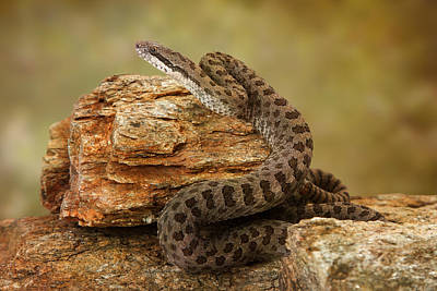 Biting Photograph - Twin-spotted Rattlesnake On Desert Rocks by Susan Schmitz