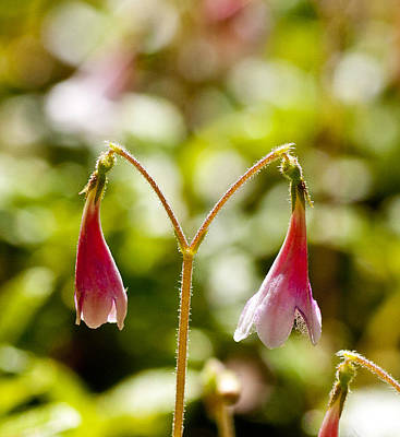 Twinflower Print by Allan MacDonald