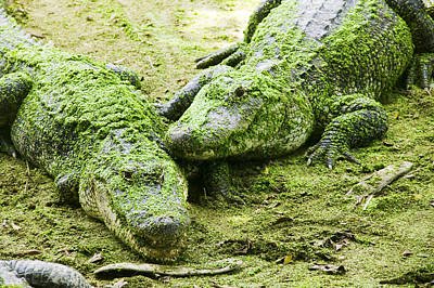 Algae Photograph - Two Alligators by Garry Gay
