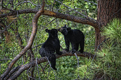 Two Bear Cubs Kissing Up A Tree Print by Paul W Sharpe Aka Wizard of Wonders
