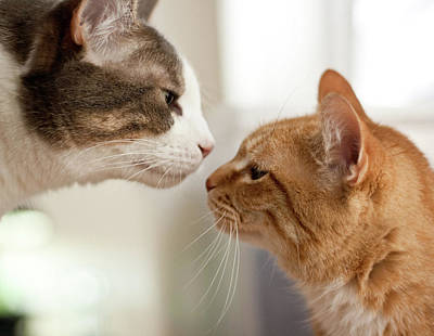 Two Faces Photograph - Two Cats Almost Kissing by Caro Sheridan / Splityarn