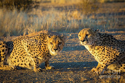 Crouched Photograph - Two Cheetahs by Inge Johnsson
