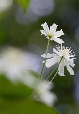 Botanic Photograph - Two Clematis by Lise-Lotte Larsson