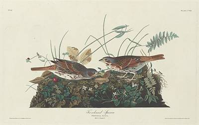 Sparrow Drawing - Two-colored Sparrow by John James Audubon
