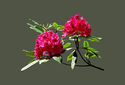 Floral Photograph - Two Dark Red Rhododendrons by Susan Savad