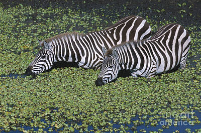Two For Lunch Print by Sandra Bronstein