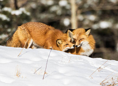 Two Fox In Winter Print by Mindy Musick King