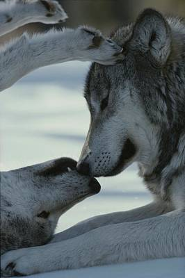 Photograph - Two Gray Wolves, Canis Lupus, Touch by Jim And Jamie Dutcher