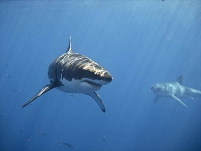Undersea Photograph - Two Great White Sharks by Photo by George T Probst