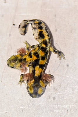 Two-headed Near Eastern Fire Salamande Print by Shay Levy