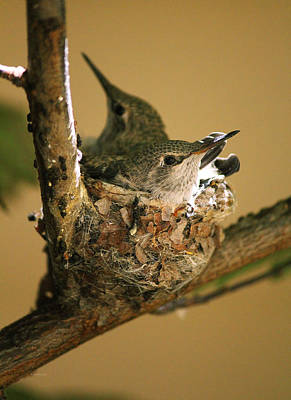 Nature Photograph - Two Hummingbird Babies In A Nest 6 by Xueling Zou