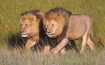 Two Lion Brothers Walking In A Forest Print by Panoramic Images