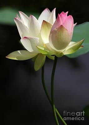 Lilies Photograph - Two Lotus Flowers by Sabrina L Ryan