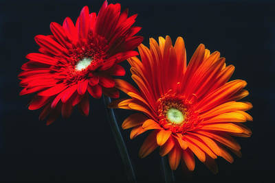 Two Luminous Daises Print by George Oze