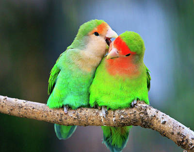 No People Photograph - Two Peace-faced Lovebird by Feng Wei Photography