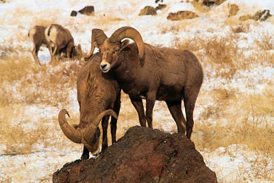 Ram Horn Photograph - Two Rams On A Rock by Jeff Swan