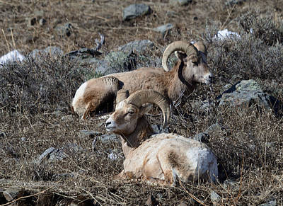 Ram Horn Photograph - Two Rams Snoozing by Kae Cheatham