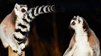 Two Ring-tailed Lemurs Print by Nick Biemans