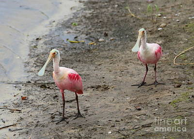 Spoonbill Photograph - Two Roseate Spoonbills 2 by Carol Groenen