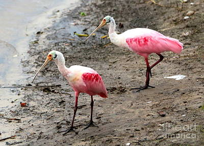Animals Photograph - Two Roseate Spoonbills by Carol Groenen