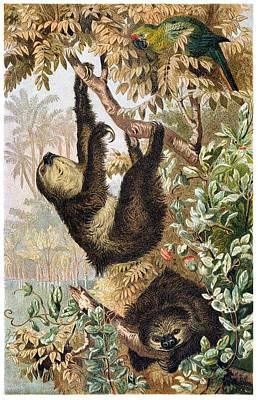 Sloth Mixed Media - Two-toed Sloth by Otis Porritt