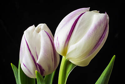 White Tulip Photograph - Two White Purple Tulips by Garry Gay