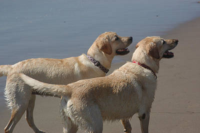 Ventura California Photograph - Two Yellow Labs Wait In Anticipation by Stacy Gold