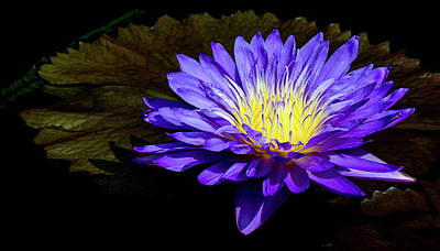 Ultra Violet Tropical Waterlily Print by Julie Palencia