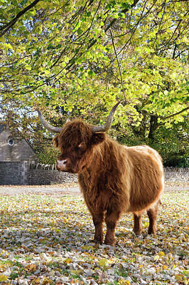 Cow Photograph - Under An Autumn Tree by Tim Gainey