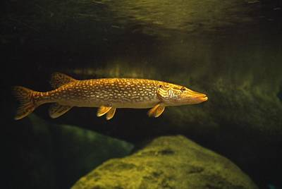 Photograph - Underwater View Of Northern Pike by Natural Selection William Banaszewski