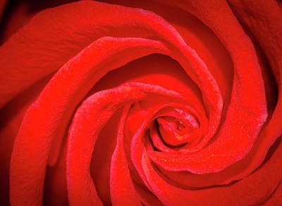 Unfurling Red Rose Print by Jean Noren
