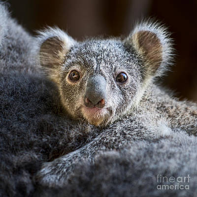 Up Close Koala Joey Print by Jamie Pham