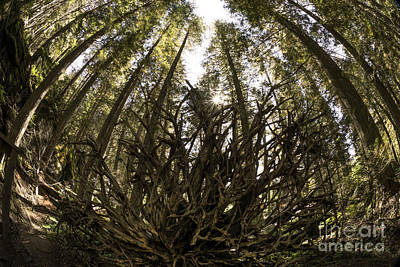 Cedar Park Photograph - Uprooted Tree In Glacier National Park by Brandon Alms