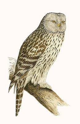 Owl Drawing - Ural Owl by English School