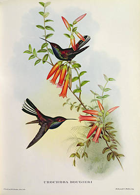 Hummingbird Painting - Urochroa Bougieri by John Gould