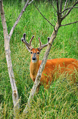 Bucks In Velvet Photograph - V Tree by Emily Stauring